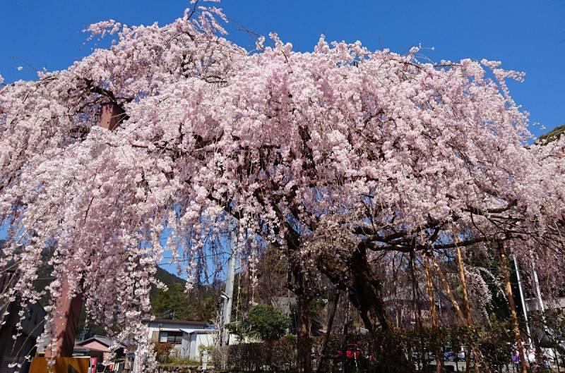 4/5の柏崎の【しだれ桜】