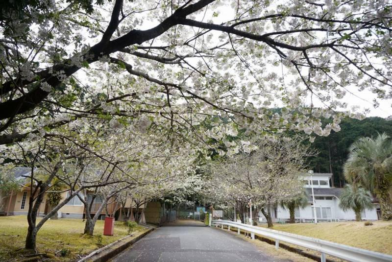 季の座にも春の訪れ【桜咲く】