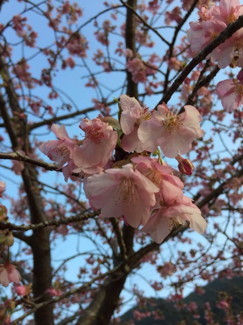 ごんべえ桜 8分咲き