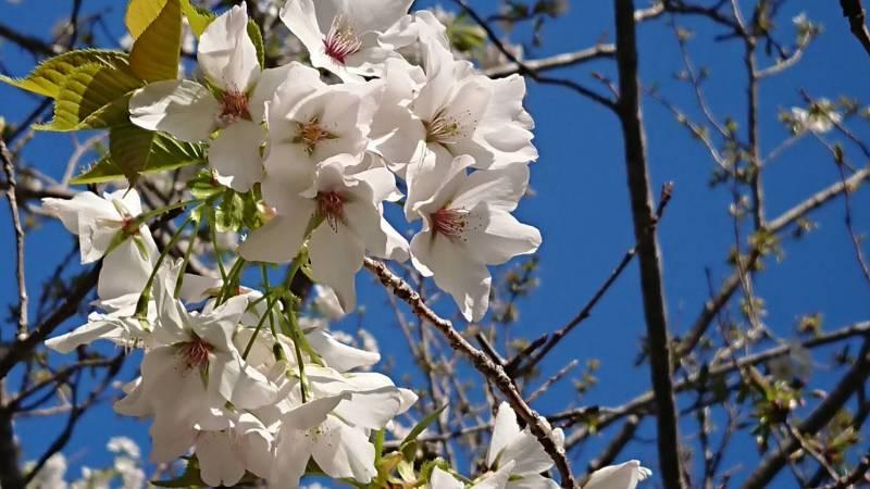 桜がきれいです♪