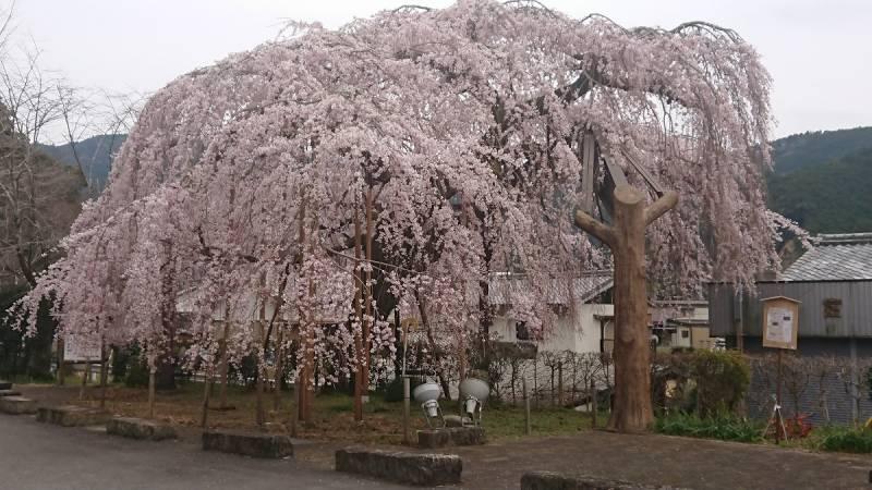隣町の大紀町柏崎の【しだれ桜】が見ごろを迎えております!!ライトアップもあります!!