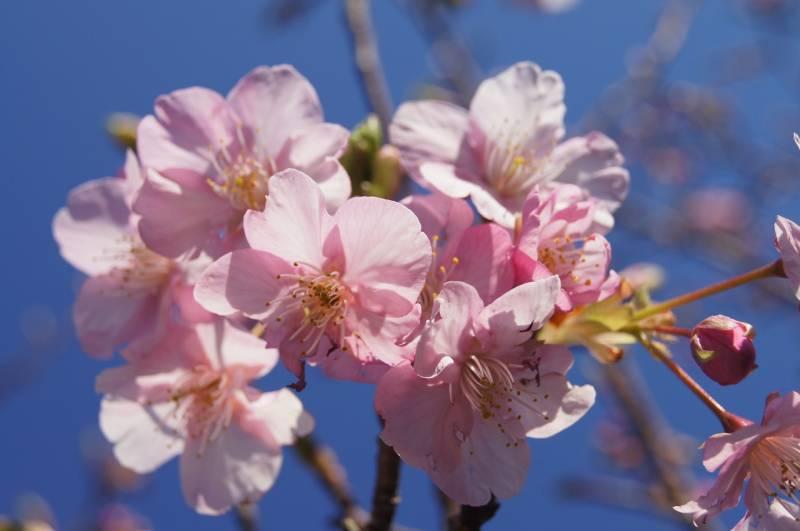 一足早い春の訪れ。季の座の敷地内の【河津桜】が咲き始めました!