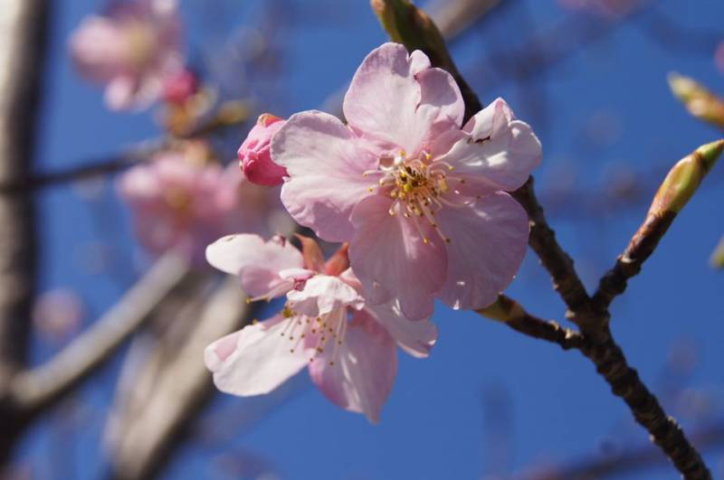 河津桜※イメージ