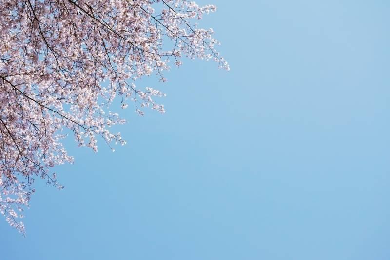 2018年に100年ぶりに発見された新種の【桜】はもう見ましたか?