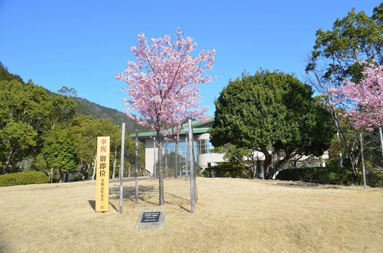 天皇陛下(当時皇太子殿下)がお手植えされた【河津桜】が見頃です。