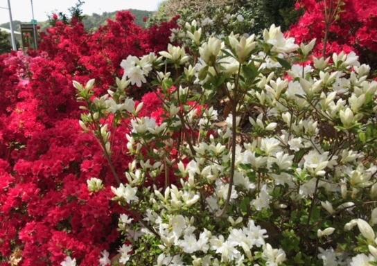 赤・白・ピンク 綺麗に咲きそろいました!